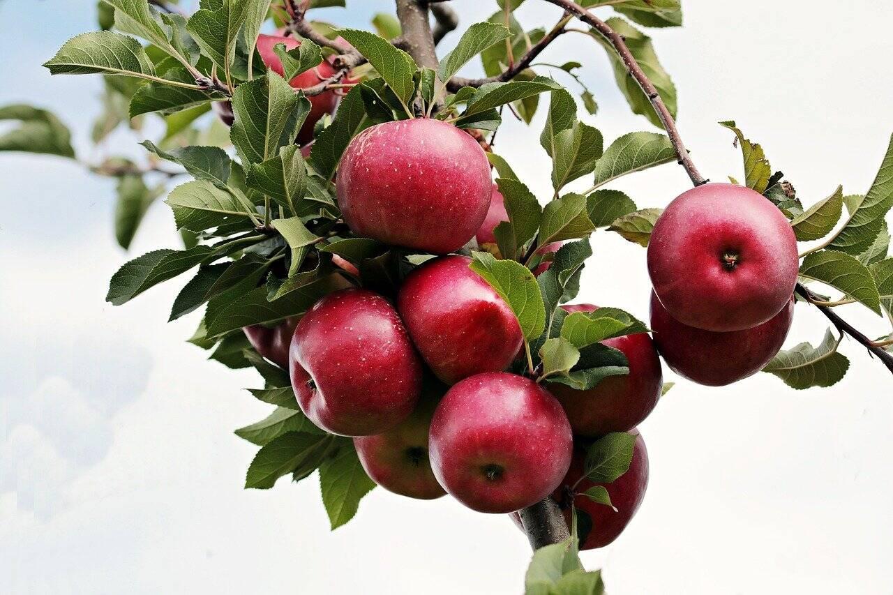 Uma maçã grande (100g) possui cerca de 55 calorias e 1,4 de fibras (Foto: Pixabay)