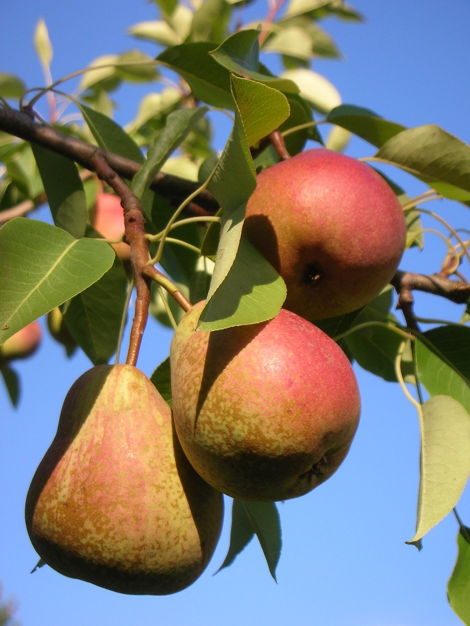 A pera ajuda a emagrecer porque é rica em fibras (Foto: Pixabay)