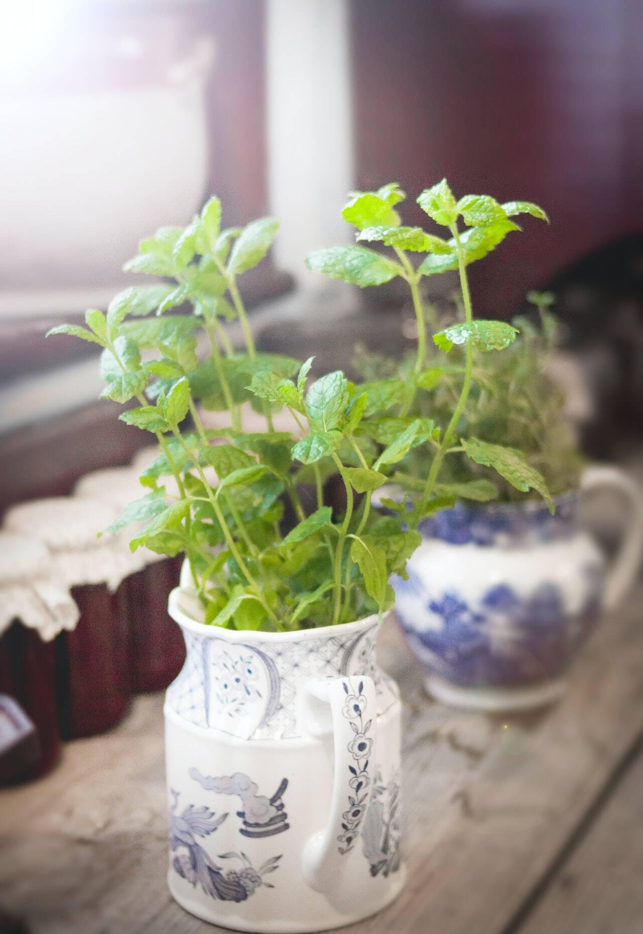 Os chás dessas ervas são poderosos aliados da boa digestão. A nutricionista Carla Fiorillo conta que eles também são calmantes digestivos, já que diminuem a acidez do estômago. Com isso, eles atenuam azias, gases e cólicas. Para um efeito mais satisfatório, o ideal é que eles sejam tomados 30 minutos antes das refeições. Entenda aqui um pouco mais sobre como a hortelã ajuda contra a má digestão e melhora a Síndrome do Intestino Irritável. (Foto: Pexels)