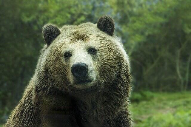 No Alasca, EUA ,acordar um urso com o fim de tirar uma fotografia é proibido (Embora não seja ilegal atirar em um urso).(Foto: Pixabay)