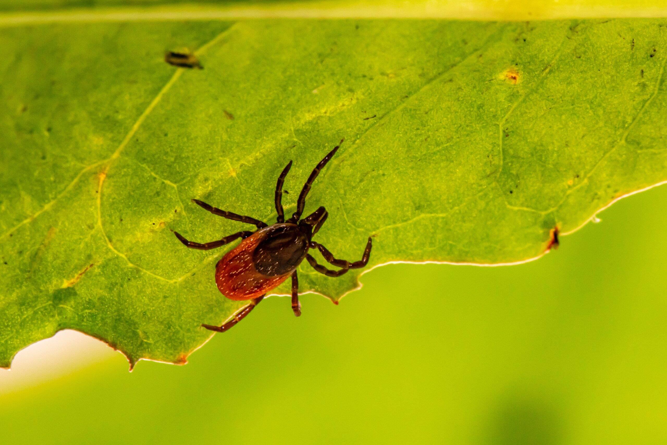 Ele é transmitido por carrapatos infectados e tem uma taxa de mortalidade de 40%. (Foto: Unsplash)