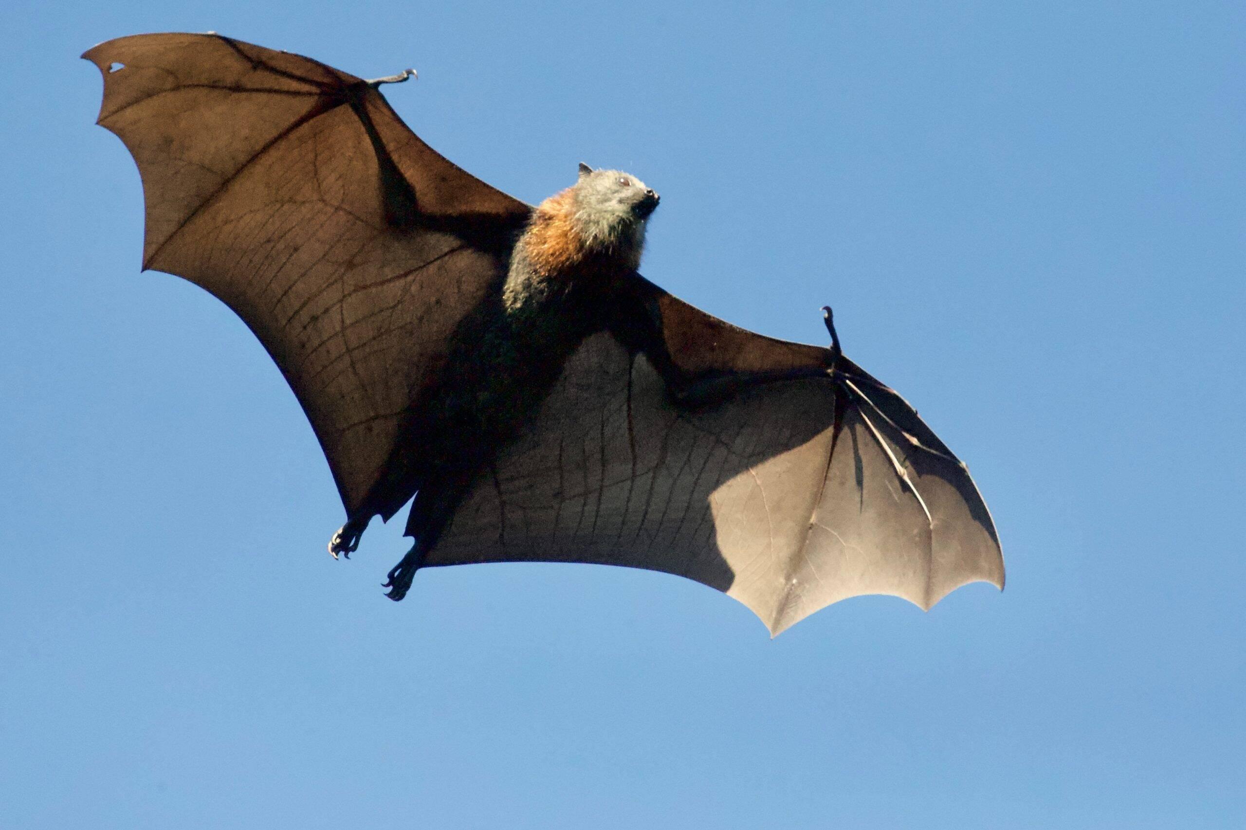 Os hospedeiros do vírus são algumas espécies de morcegos, que transmitem para humanos e também para macacos. (Foto: Unsplash)