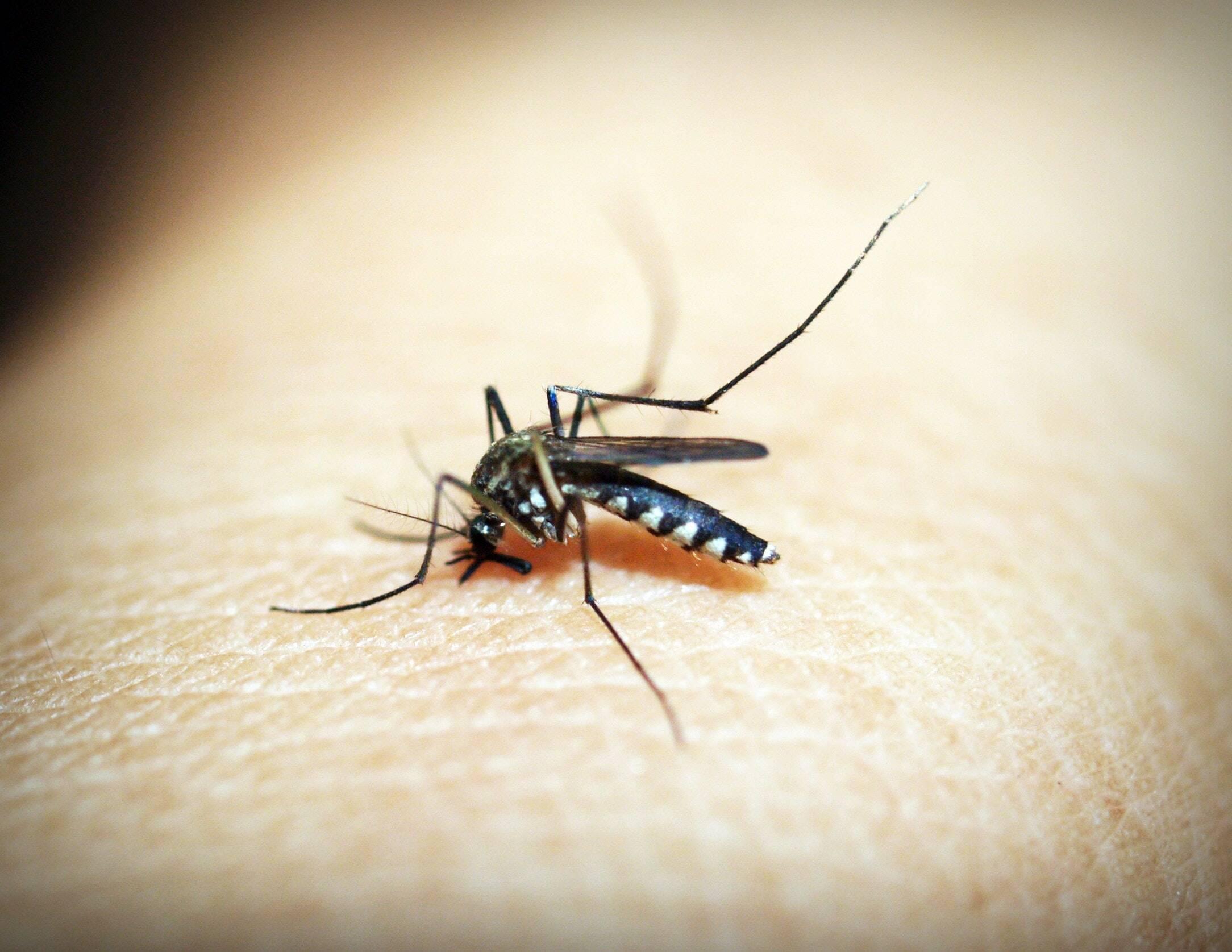 Transmitida pelo mosquito Aedes Aegypti, a Febre do Vale Rift foi definida pela OMS como potencial de emergência de saúde pública em 2019. (Foto: Pexels)