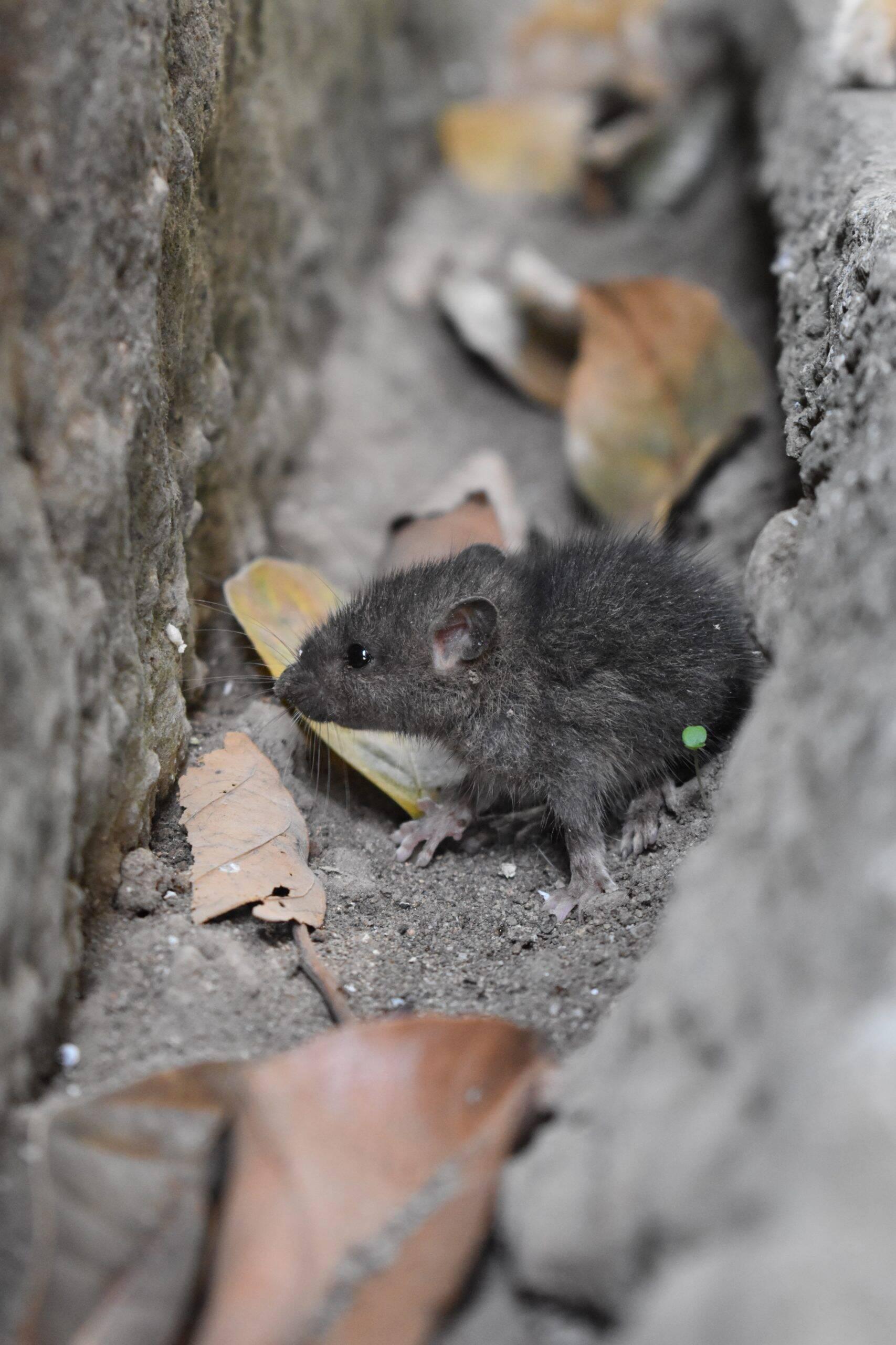 A transmissão do vírus ocorre pelo xixi ou fezes de ratos africanos Mastomys. A doença danifica órgãos e rompe vasos sanguíneos. (Foto: Unsplash)